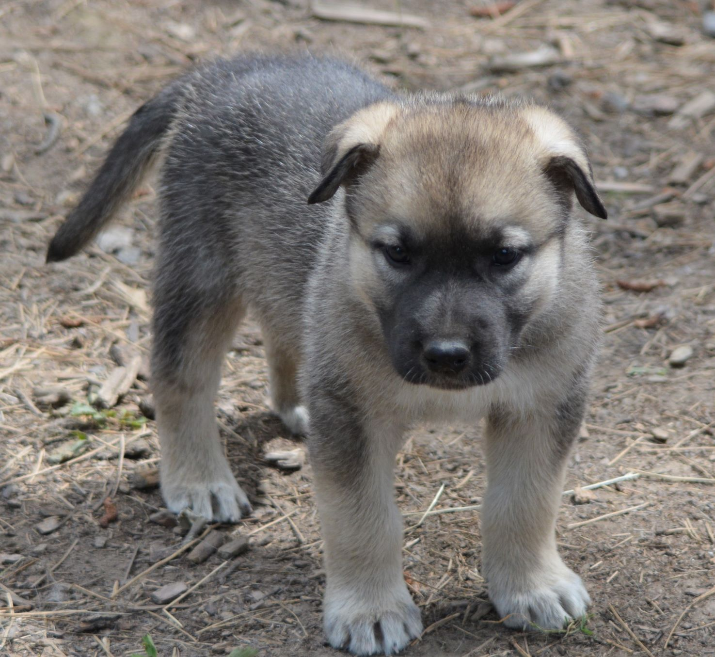 Dire Wolf Project - American Alsatian Dog - DireWolf Dogs - As You Wish