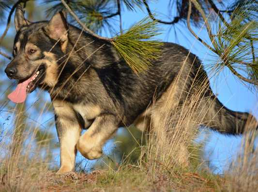 Dire Wolf Project - DireWolf Dog - Kodiak - American Alsatian Dog