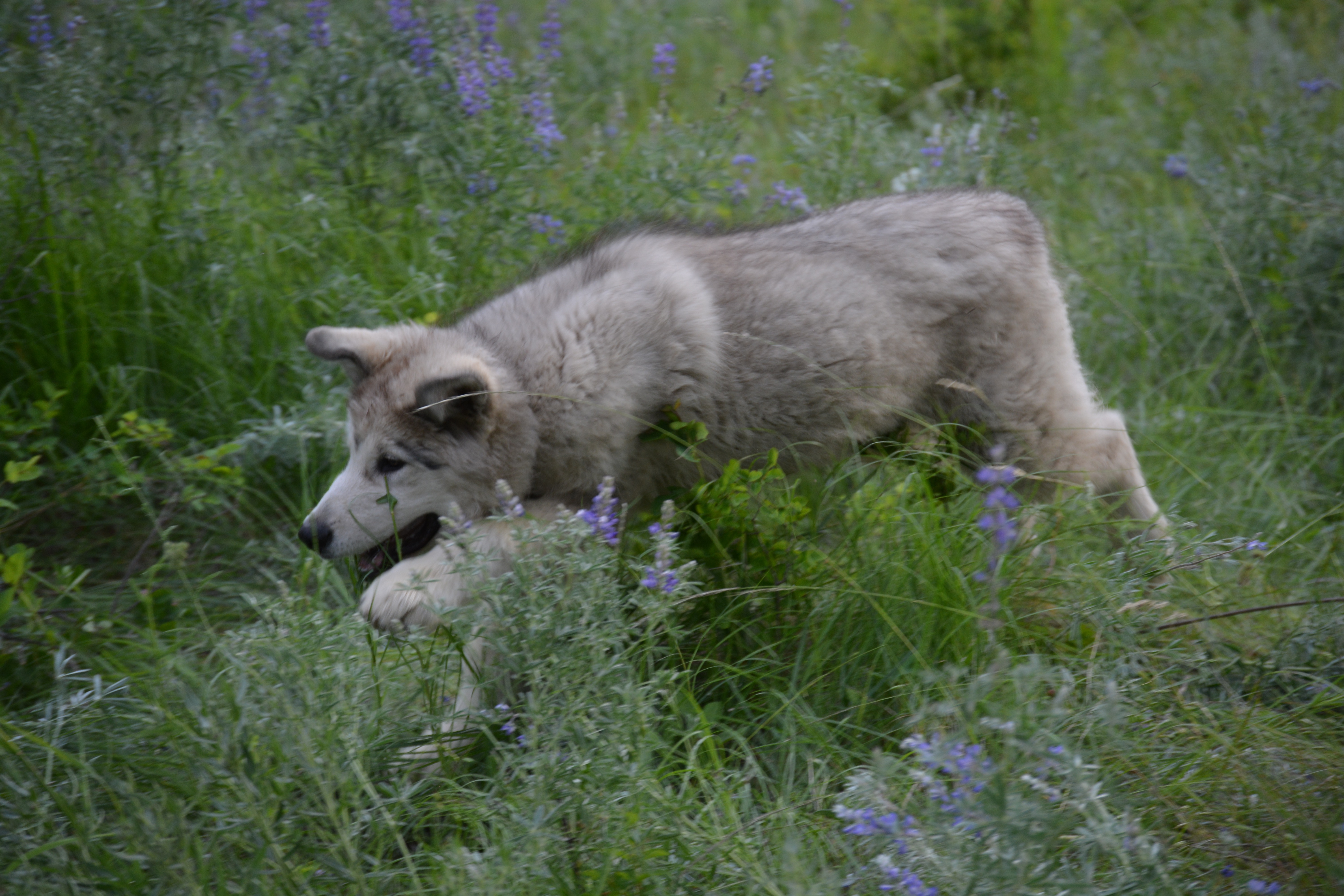 Dire Wolf Project - American Alsatian Dog - Large Puppy - DireWolf Dog