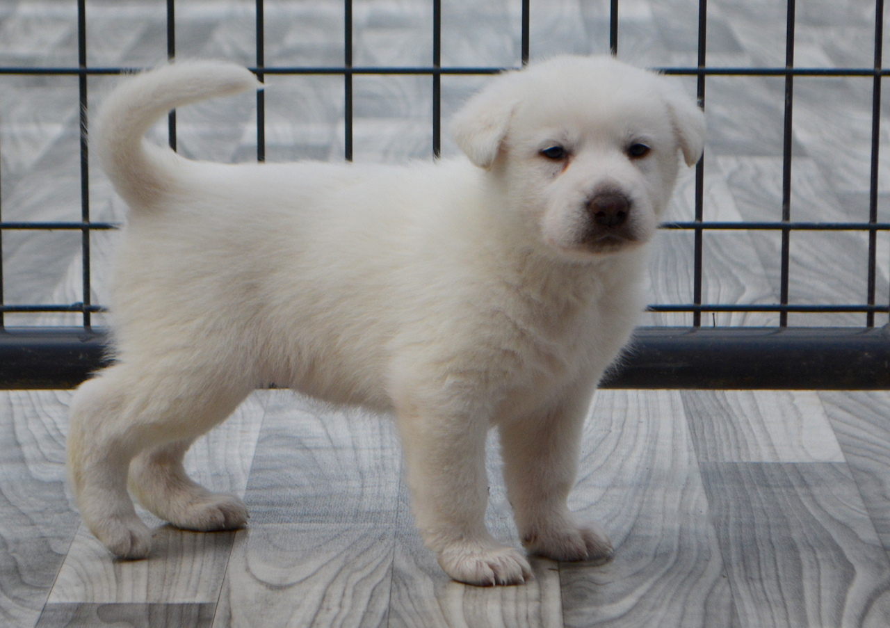 Dire Wolf Project - DireWolf Dogs - American Alsatian - Cotton Candy