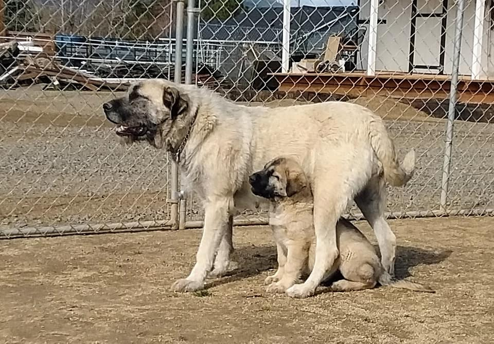 Dire Wolf Project - DireWolf Dogs - American Alsatian Dog - Bazooka and Mom